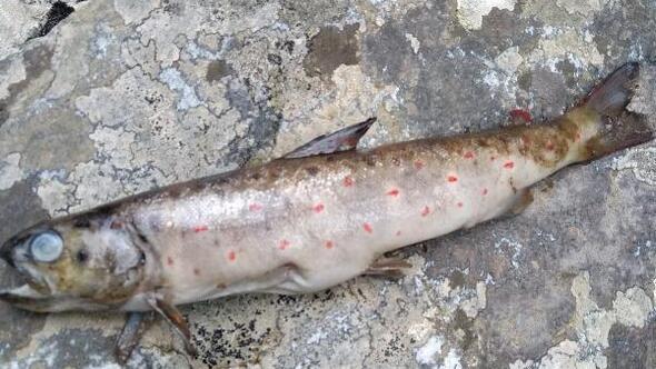 Kazdağlarındaki dereye elektrik vererek balık katliamı yapıldı
