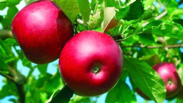 Niğdede 454 bin ton elma rekoltesi bekleniyor