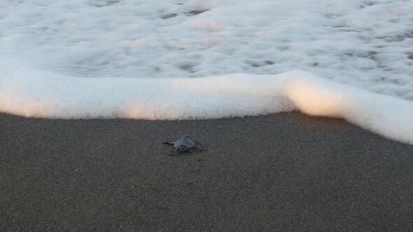 Samandağda yavru kaplumbağaların denize yolculuğu başladı
