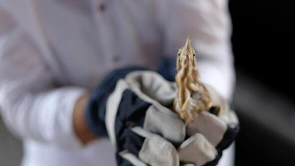 Tokatta nesli tükenmekte olan balaban kuşu, yaralı bulundu