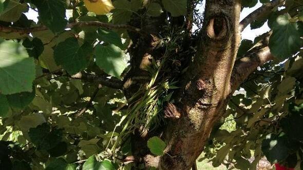 Yetiştirdikleri esrarı ağaç dallarında kuruturken yakalandılar