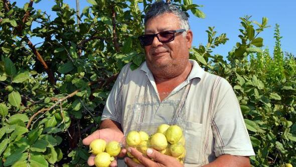 Silifkede guava hasadı başladı