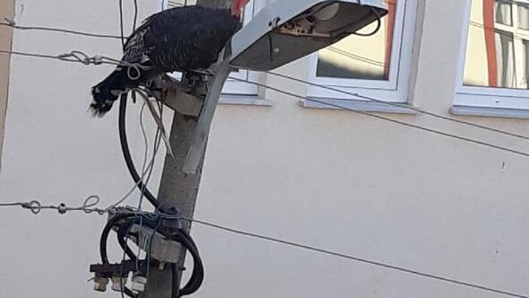 Elektrik direğinde mahsur kalan hindi kurtarıldı