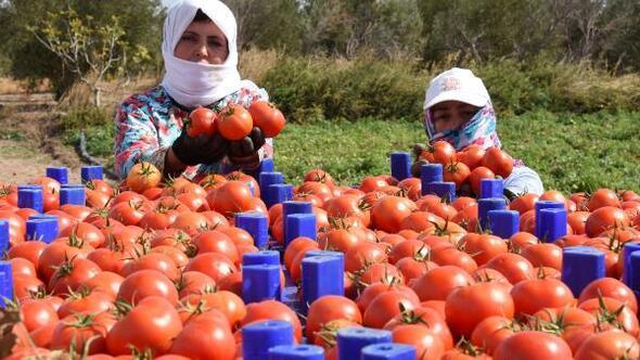 Çanakkale domatesinin kilosu 40 kuruşa düştü