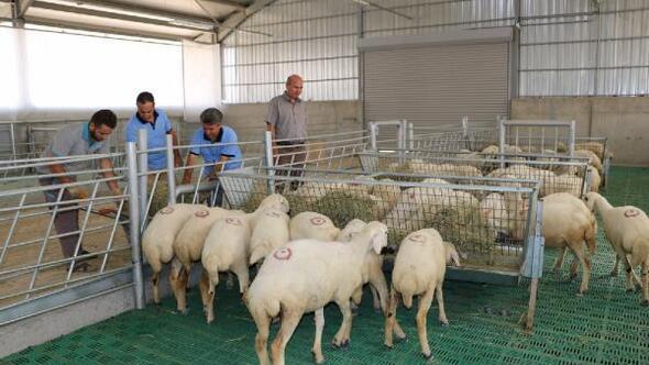 Üniversitededamızlık koyun üretimi