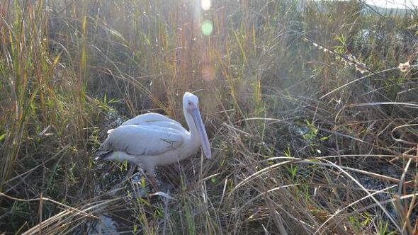 Bakımı tamamlanan ak pelikan, doğaya bırakıldı