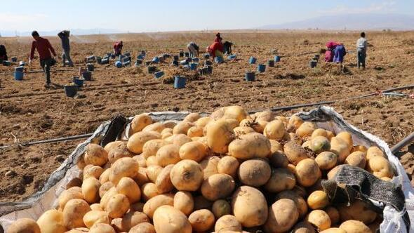 Patates hasadı tamamlandı, çiftçiler ürünlerini depolara kaldırdı