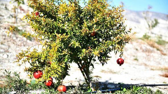 Beypazarı'nda nar yetişiyor