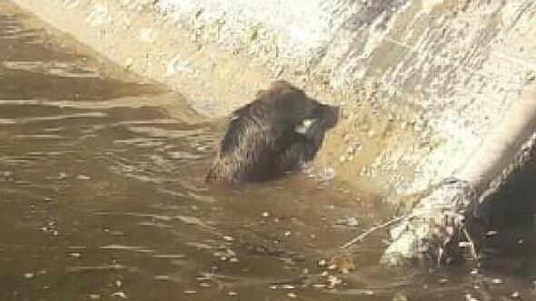 Sulama kanalına düşen yaban domuzunu itfaiye kurtardı