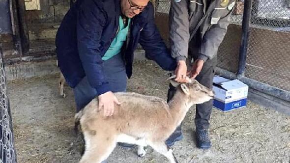Bitkin halde bulunan yaban keçisi bakıma alındı