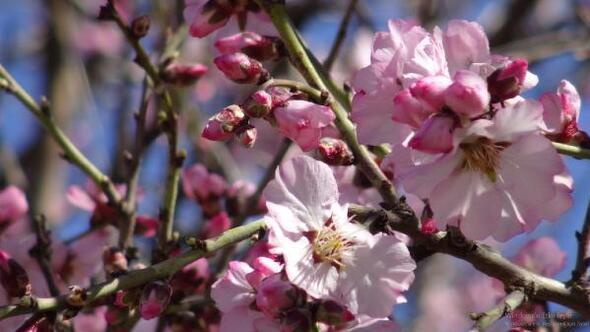 Gercüşte badem ağaçları çiçek açtı