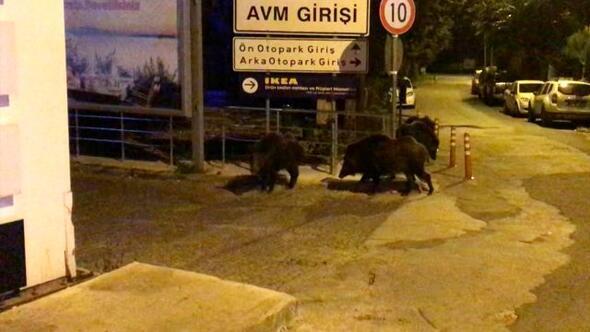 Muğlada aç kalan domuzlar ilçe merkezine indi