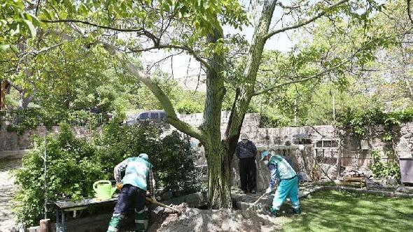Belediyeden, 50 yıllık ceviz ağacına bakım