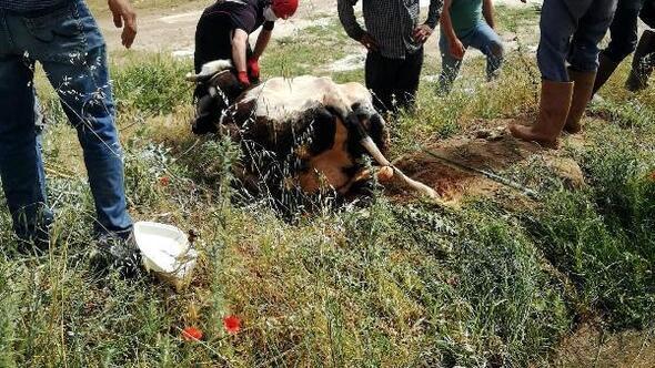 Sulama kanalına düşen inek kurtarıldı