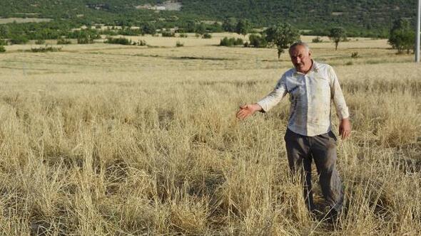 Domuzlar arpa tarlasına zarar verdi