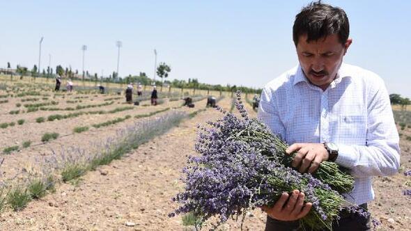 Karatay Belediyesinin lavanta bahçesinde ilk hasat başladı