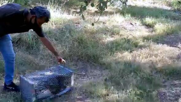 Evin avlusunda yakalanan oklu kirpi, doğaya bırakıldı