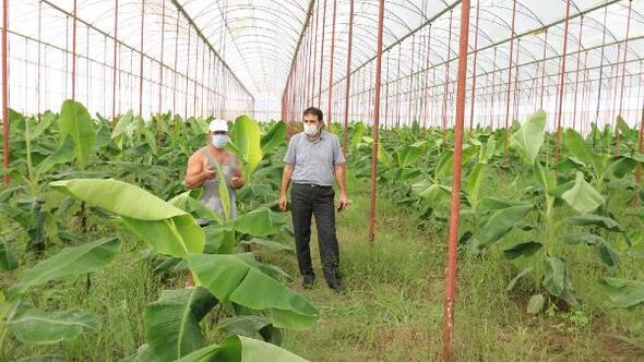 Osmaniyede örtü altı muz üretim alanları artıyor