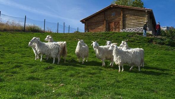 Altın keçiler