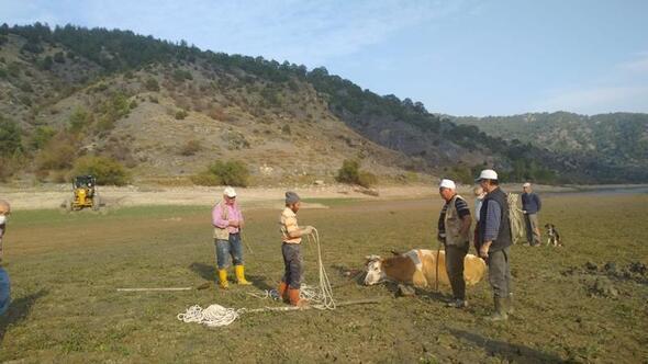 Dört inek bataklığa saplandı