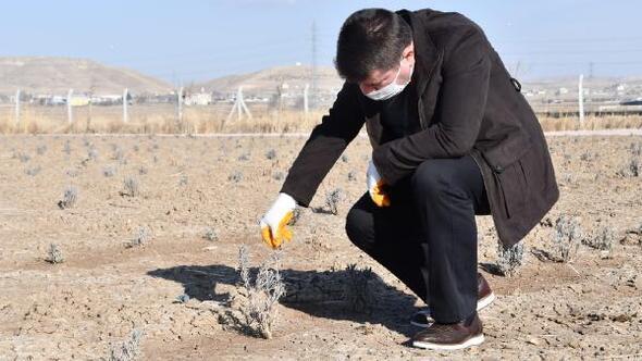 Aksaray Belediyesinden 20 dönüm araziye lavanta