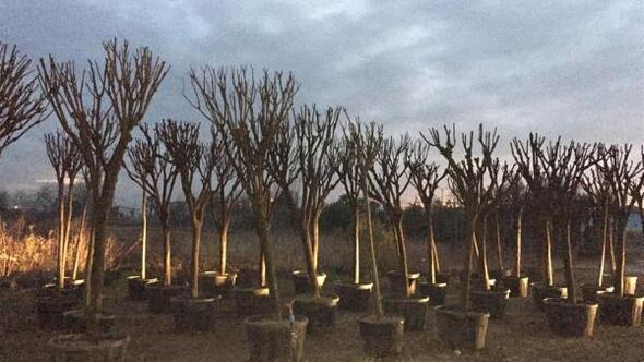 Balıkesirde egzoz gazından zarar gören ağaçlar yenileniyor