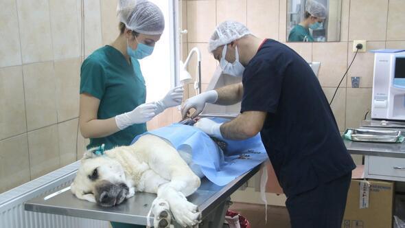 Yılda 2 bin köpek kısırlaştırılıyor