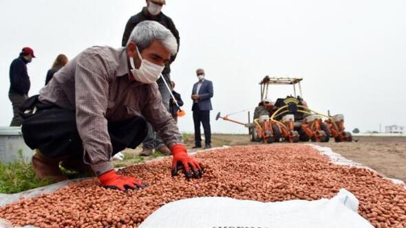 Tarsusta yerli ürün Ayşehanım yerfıstığı ekildi