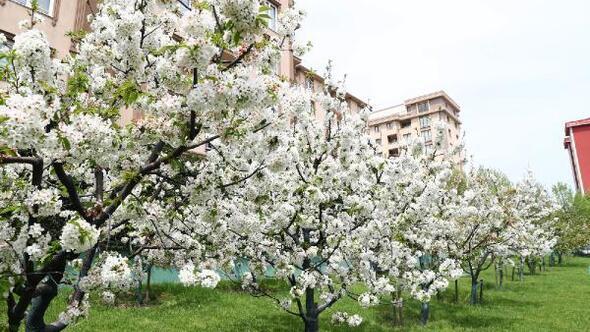 Bağcılar'da nostalji bahçeleri beyaza büründü