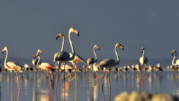 Flamingolar kuluçkaya hazırlanıyor
