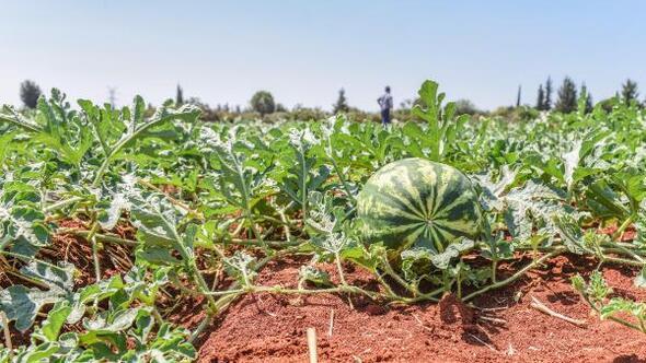 Tütüncüden ilk hasat paylaşımı