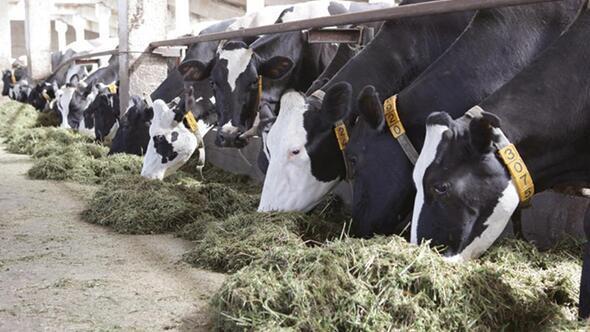 Hayvan üreticilerine suni tohumlama desteği