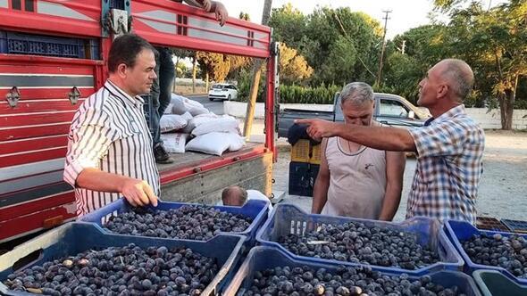 Dane zeytin alımları başladı