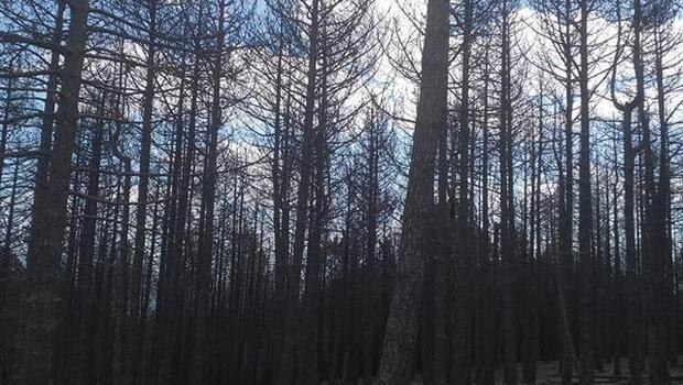 Bergama'da başlamış İvrindi'ye sıçramıştı! 100 hektar orman kül oldu