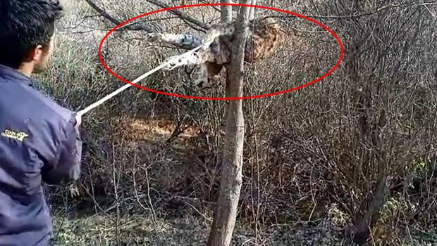 Sivas'ta ağaç dalı üzerinde bulundu! Üzücü görüntü...