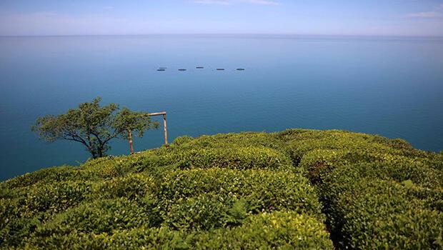 Doğu Karadeniz'de çay bahçelerinde yeşilin farklı tonları