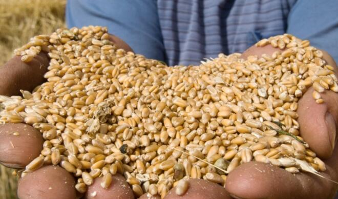 Rus buğdayı inceleniyor