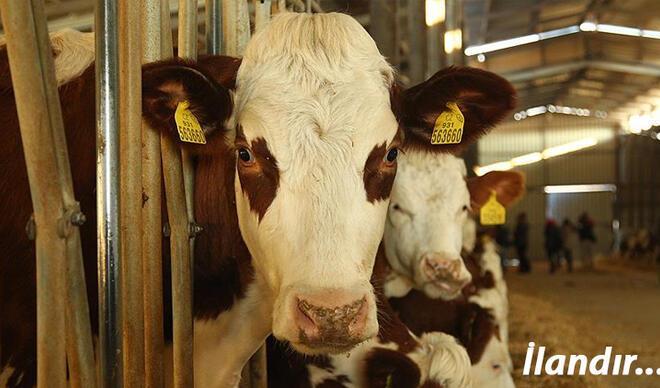 Büyük baş hayvan sayısı %6, artarak 17 milyon 221 baş oldu
