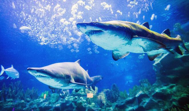 İklim değişikliği köpek balıklarının yaşamını tehdit ediyor