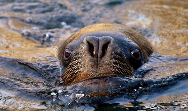 Nesli tükeniyor... Deniz aslanına tüberküloz teşhisi koyuldu!