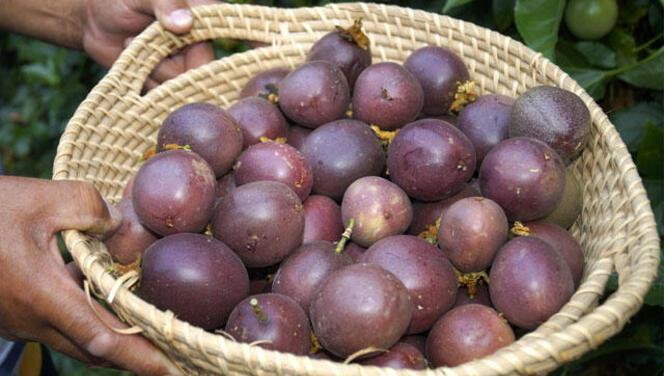 Çarkıfelek (passiflora) meyvesinin özelliği nedir? Çarkıfelek meyvesi nerelerde yetişir?