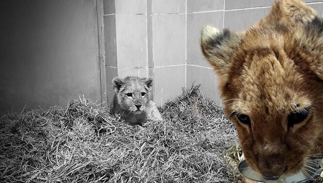 İzmir'de ele geçirildi... Yavru aslanı gören ekipler şaşkına döndü