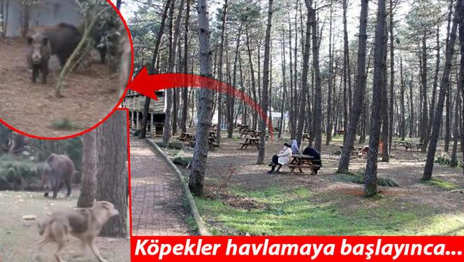 İstanbul'un göbeğine domuz sürüsü indi! Piknik yapanlar büyük şok yaşadı