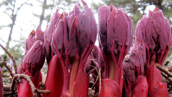 Antalya'da şakayık çiçeği alarmı! Dikkat: Koparmanın cezası var