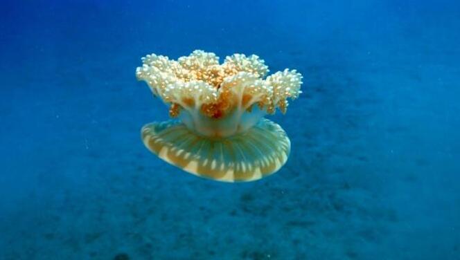 Kaş'ta 'yakıcı denizanası' istilası