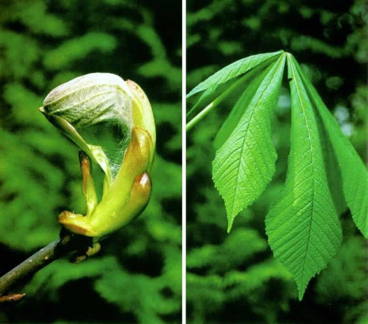 Bitkiler yaşlılık nedeniyle ölür mü
