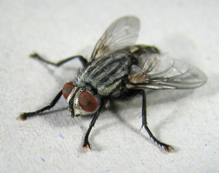 Kötü koku sinekleri neden çekiyor