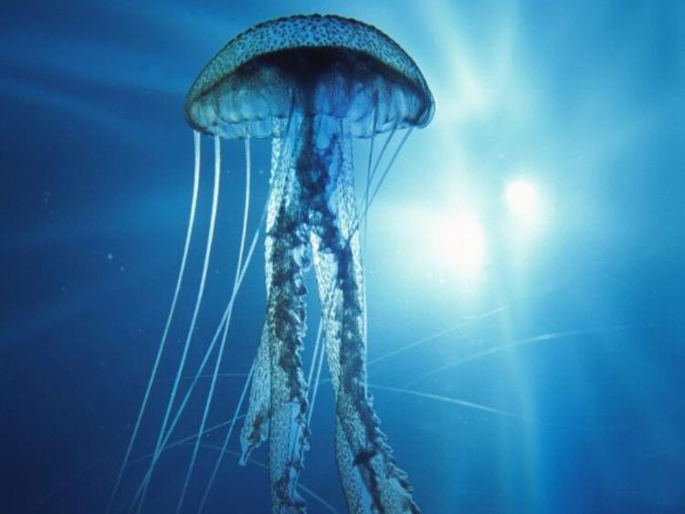 Denizanası iğnesinin acısını idrarla azaltabilir miyiz