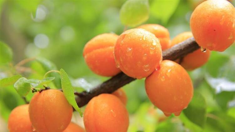 Sıcak yaz aylarında meyvelerle sağlıklı bir şekilde zayıflamak mümkün. Günde iki litre su tüketerek ve yarım saat yürüyüş yaparak kilo verebilirsiniz.İşte 4 günde 4 kilo verdiren kayısı diyeti...