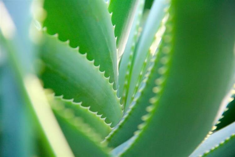 Aloe vera Maskesi